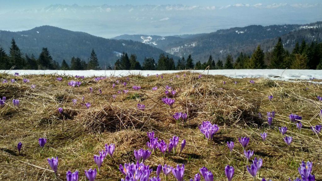 Pierwsze tegoroczne krokusy na Turbaczu z Tatrami w tle